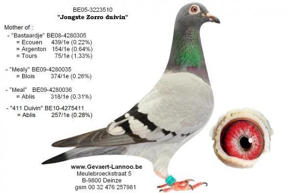 Jongste Zorro duivin  3223510/05