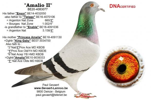 Amalio II                             BE20-4083077
